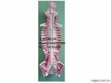 椎管内部脊髓神经模型、脑脊髓与周围神经解剖模型