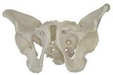 女性骨盆模型