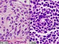 人正常肝细胞,系,LO2 细胞