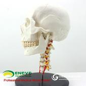 ENOVO颐诺人体头骨颅骨带颈椎模型 枕骨颅骨模型骨科医患沟通神经