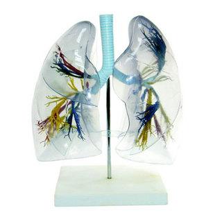 医学人体解剖模型,透明肺段模型