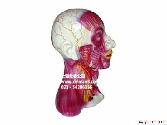 头颈部中层解剖模型