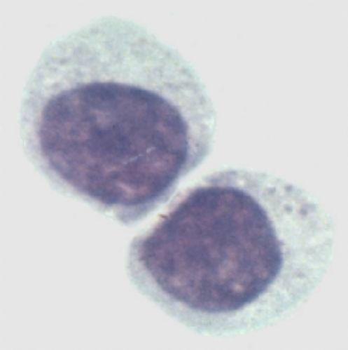 树鼩肺成纤维样细胞,TSHL3