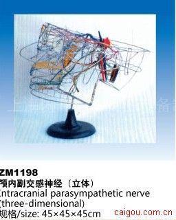 颅内副交感神经(立体)